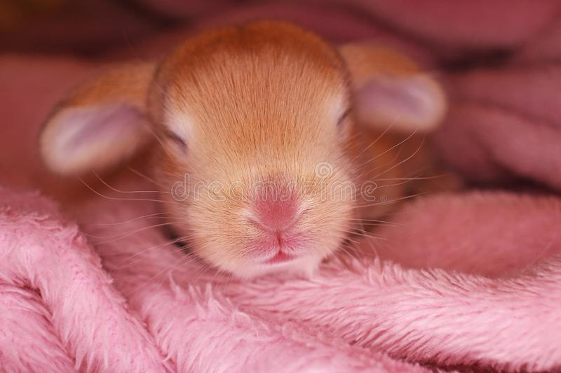 Cute bunny lop rabbit baby kit on colorful studio background. New born baby animal pet rabbits. Cute stock photos