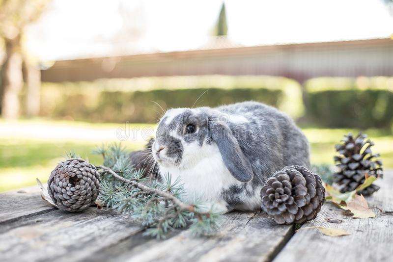 Cute bunny pet walking on a wooden table with pines outdoor.  royalty free stock photography