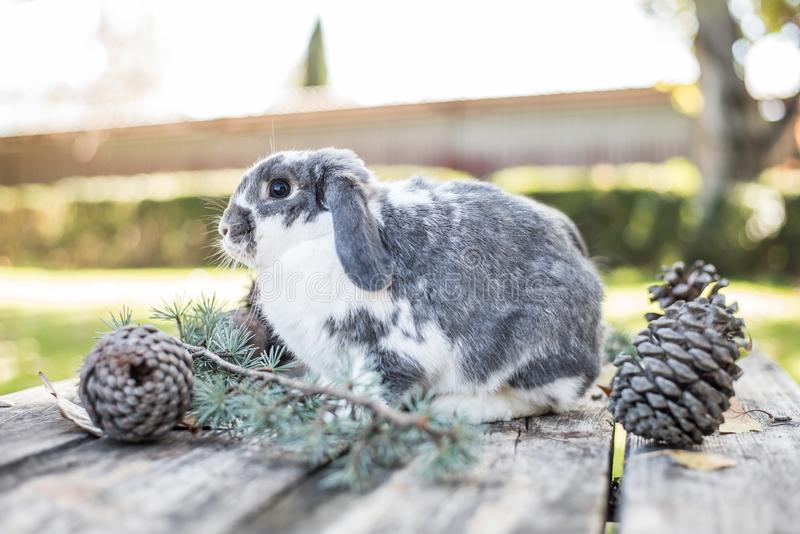 Cute bunny pet walking on a wooden table with pines outdoor.  stock photography
