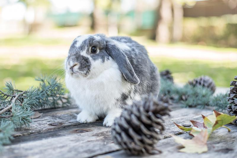 Cute bunny pet walking on a wooden table with pines outdoor.  royalty free stock photo