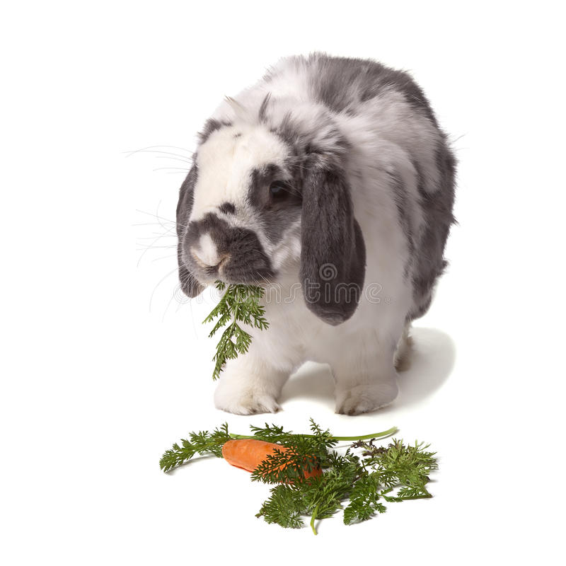 Cute Bunny Rabbit eating carrot and greens royalty free stock photography