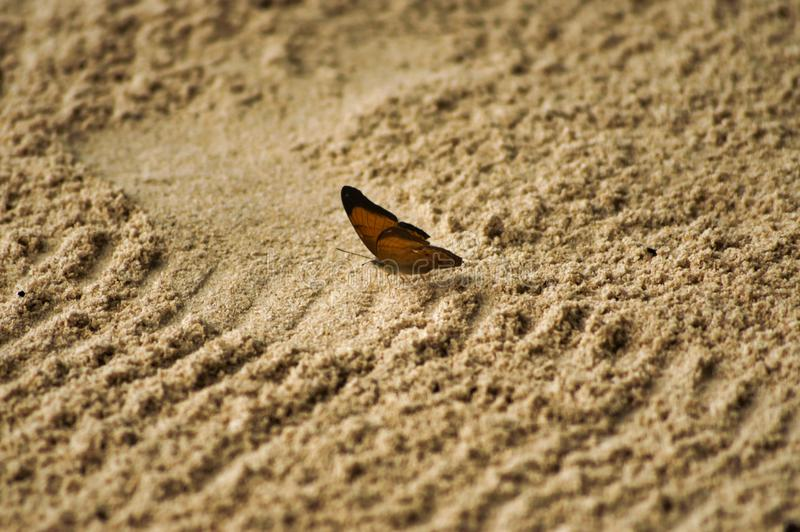 Butterfly on the sand on the island of Tioman Malaysia. Cute butterfly on the sand on the island of Tioman Malaysia.  Brown sand brown butterfly calm royalty free stock images