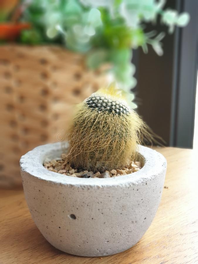 A cute cactus in a small pot. stock photography