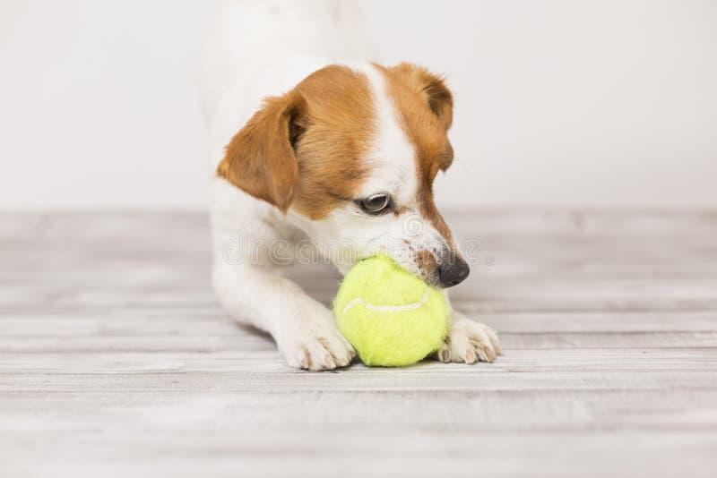 Cute cagnolino che gioca con una pallina da tennis e si diverte a mordere la palla Animali domestici Divertimento fotografia stock