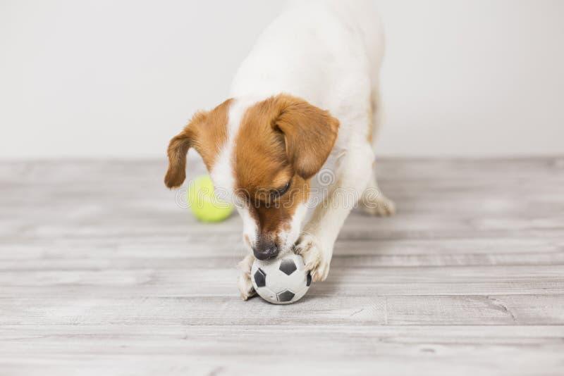 Cute cagnolino che gioca con una pallina da tennis e si diverte a mordere la palla Animali domestici Divertimento immagini stock
