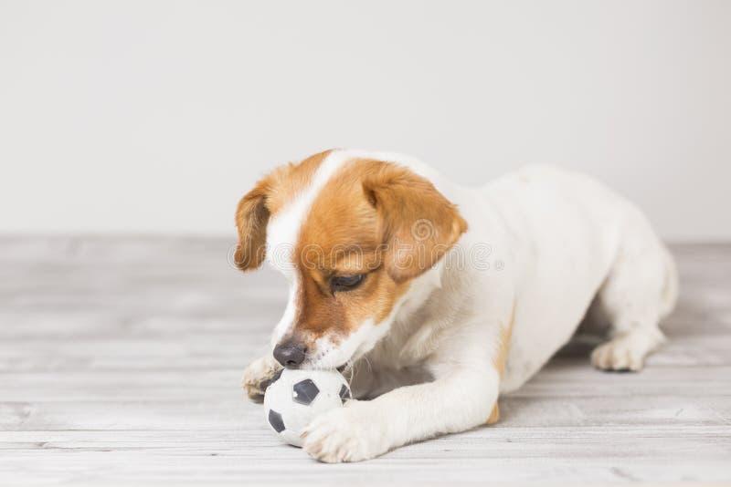 Cute cagnolino che gioca con una pallina da tennis e si diverte a mordere la palla Animali domestici Divertimento fotografie stock libere da diritti