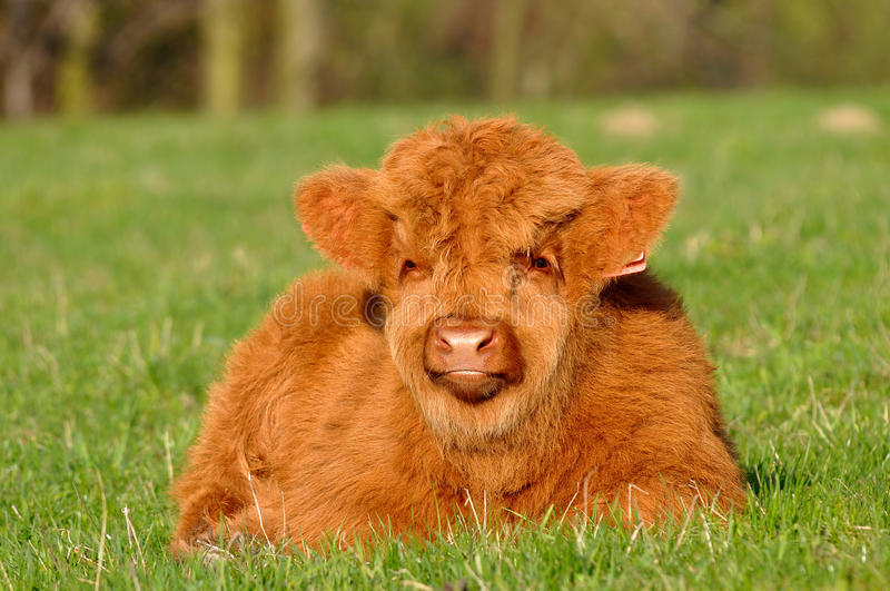 Cute calf of highland cattle. Highland cattle or kyloe are an ancient Scottish breed of beef cattle with long horns and long wavy pelts which are coloured black royalty free stock images