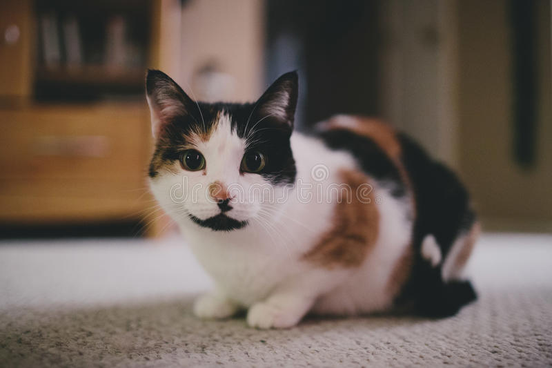 Cute calico cat. A calico cat being very curious royalty free stock image