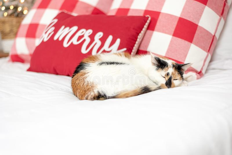 Calico cat curled up on the bed at Christmas time. Cute calico cat curled up sleeping on the bed at Christmas time stock photos
