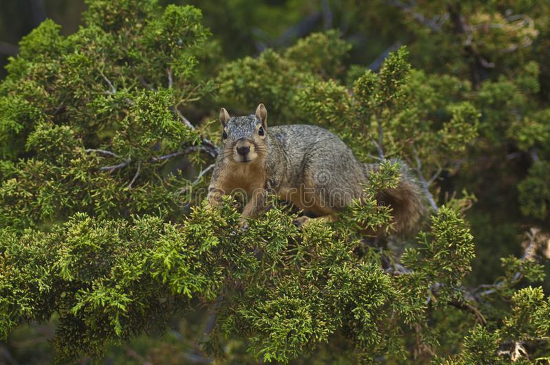 Cute California Grey Squirrel looks at camera from an evergreen tree stock photos