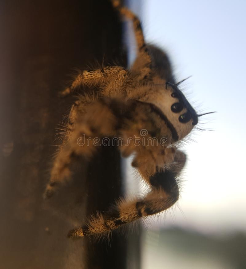 Cute Canopy Jumping Spider. This cute canopy jumping spider posed perfectly for me yesterday at the park stock photo