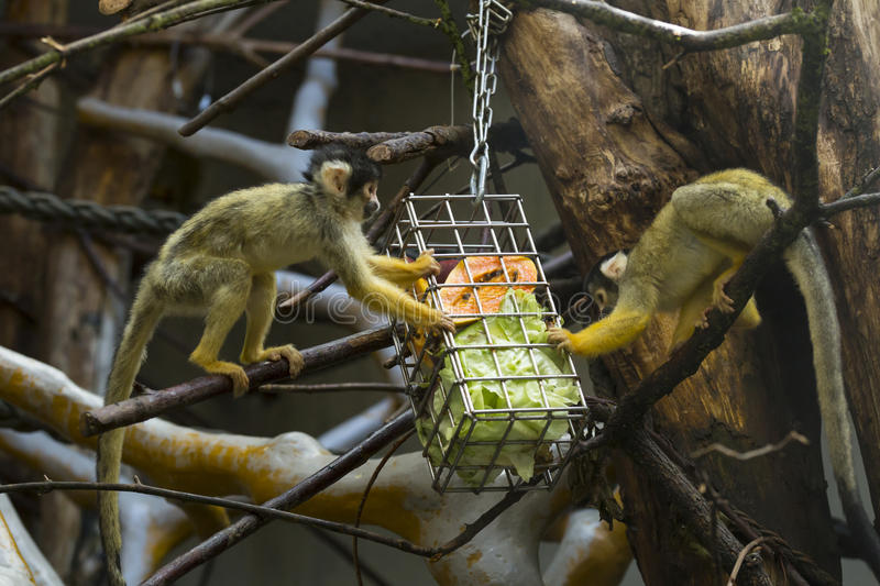 Cute capuchin monkeys eating lunch royalty free stock image