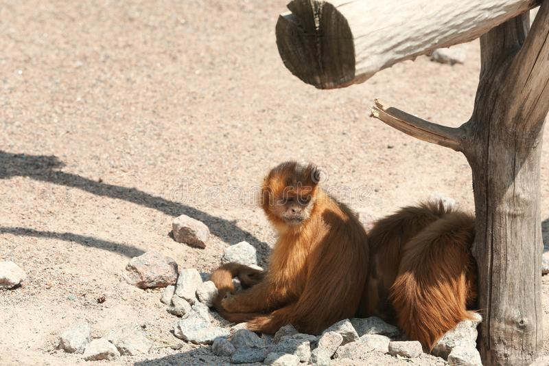 Cute capuchin monkeys at enclosure in zoo stock photography