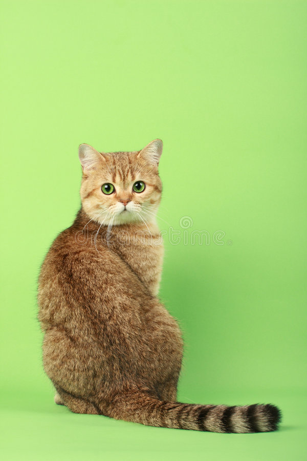 Cute cat. Looking over the shoulder royalty free stock image