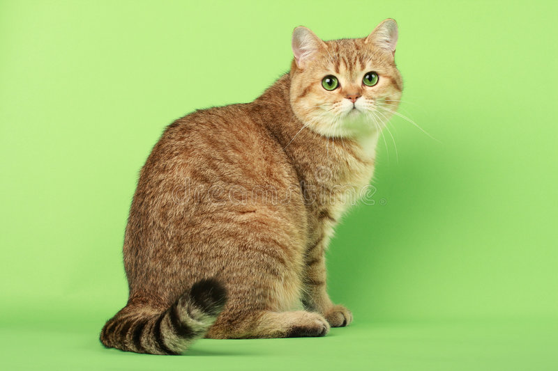 Cute cat. With green eyes royalty free stock image