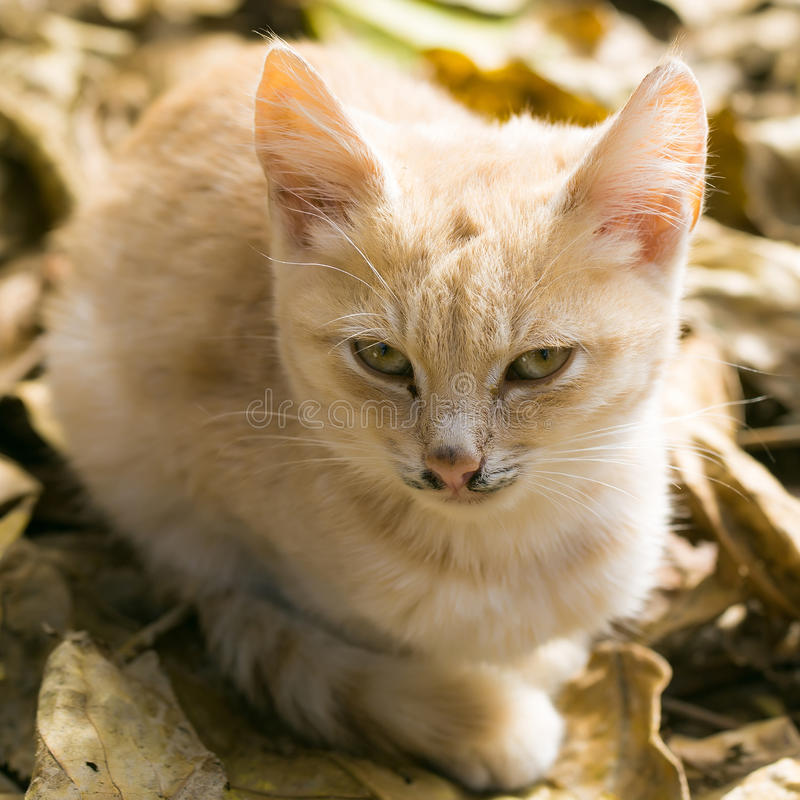 Cute cat on autumn leaves. Cute cat or kitten pet with ginger colored coat lies on sunny day on yellow autumn leaves stock photo