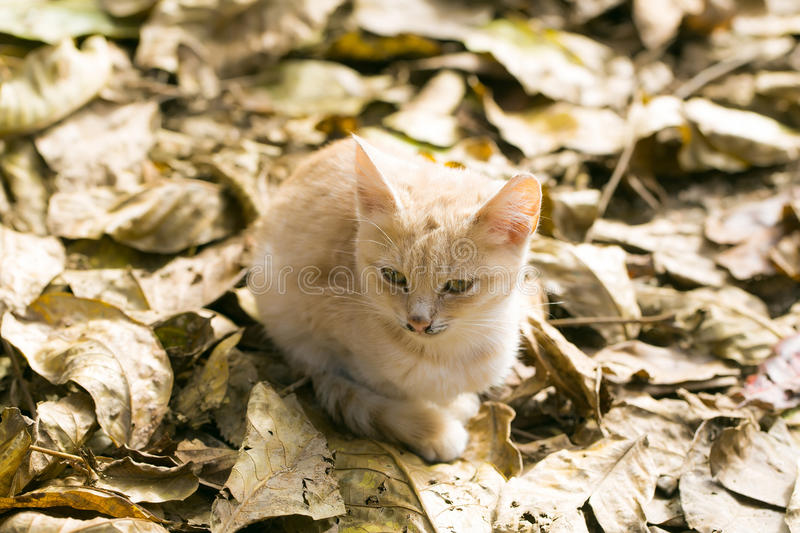 Cute cat on autumn leaves. Cute cat or kitten pet with ginger colored coat lies on sunny day on yellow autumn leaves stock photography