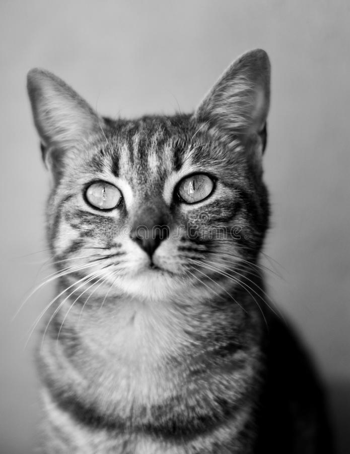A cute cat in black and white royalty free stock photo