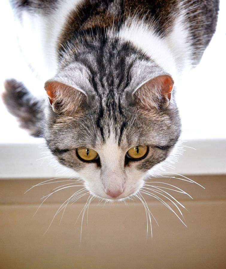 Cute cat of black and white color with yellow eyes is closely wa. Tching the events stock photos