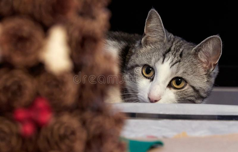 Cute cat of black and white color with yellow eyes is closely wa. Tching the events stock photography