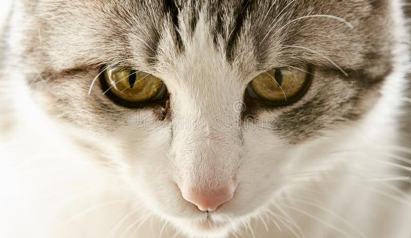 Cute cat of black and white color with yellow eyes is closely wa. Tching the events stock image