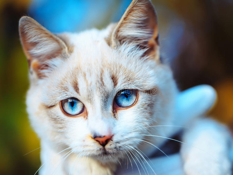 Ginger and white cat with blue eyes