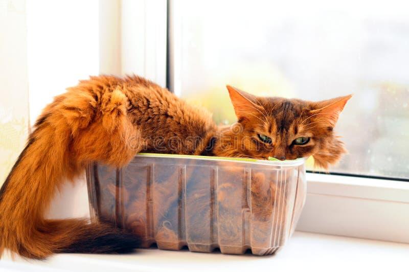 Cute cat in a box. Cute somali cat lying inside plastic box royalty free stock images