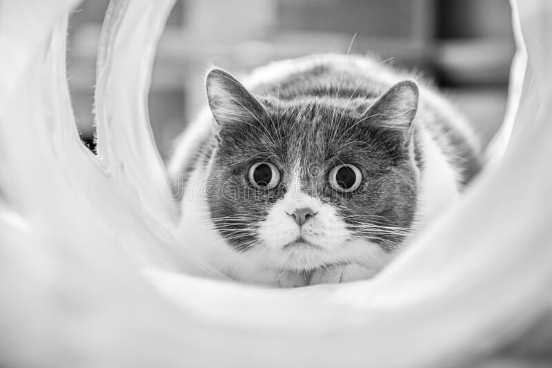 Cute cat with dilated pupils focused on a target while playing in a tunnel; black and white royalty free stock images