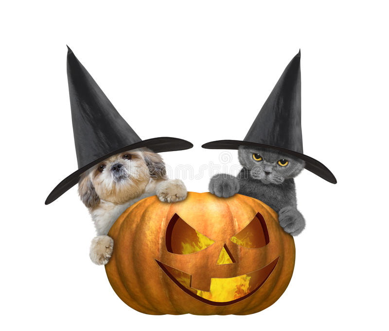 Cute cat and dog in a costume with halloweens pumpkin. Isolated on white stock photography