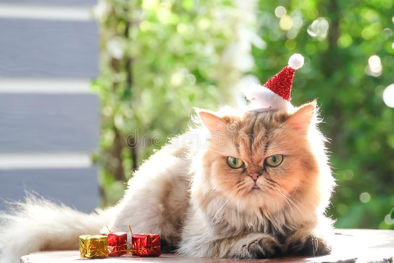 Cute cat , Golden cat Chinchilla in red christmas hats. Close-up Portrait of Furry British Cat Chinchilla, Cute cat ,golden cat Chinchilla royalty free stock photography