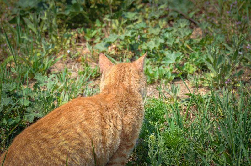 A cute cat in the grass is looking for food. Kitten pet eye animal tabby fur domestic background green nature portrait outdoor hungry eating face garden british stock photos