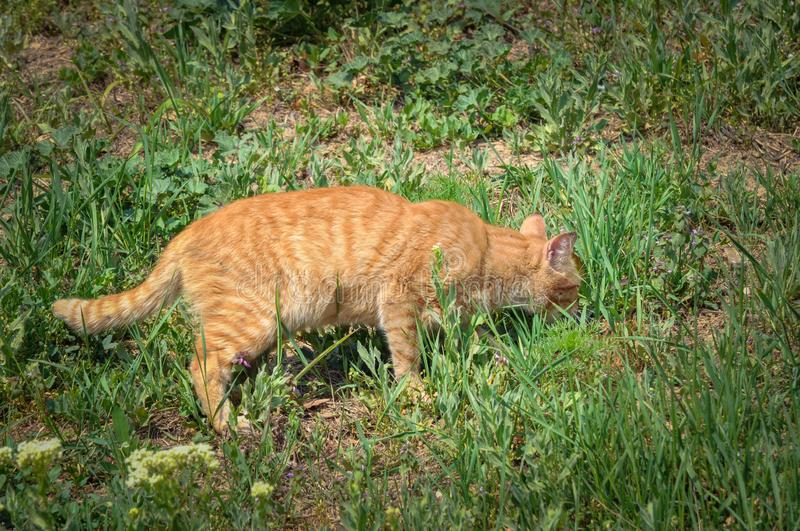 A cute cat in the grass is looking for food. Kitten pet eye animal tabby fur domestic background green nature portrait outdoor hungry eating face garden british stock photo