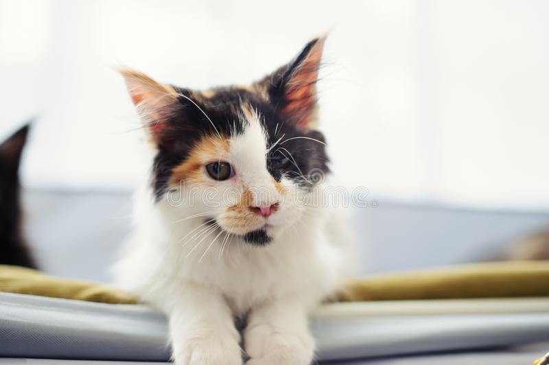 Cute cat at home. Blurred background. Pet, kitty, kitten, animal, domestic, feline, eye, funny, fur, adorable, whisker, hair, purebred, relax, beautiful royalty free stock photo