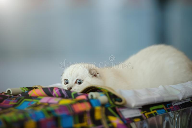 Cute cat at home. Blurred background. Pet, kitty, kitten, animal, domestic, feline, eye, funny, fur, adorable, whisker, hair, purebred, relax, beautiful stock photography