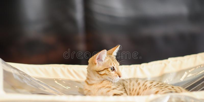 Cute cat at home. Blurred background. Pet, kitty, kitten, animal, domestic, feline, eye, funny, fur, adorable, whisker, hair, purebred, relax, beautiful stock photo