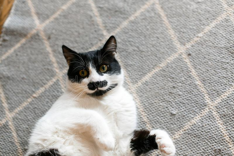 Cute cat lazy lying on stylish rug in the kitchen, top view. Sweet black and white kitty with mustache resting, with interesting royalty free stock images