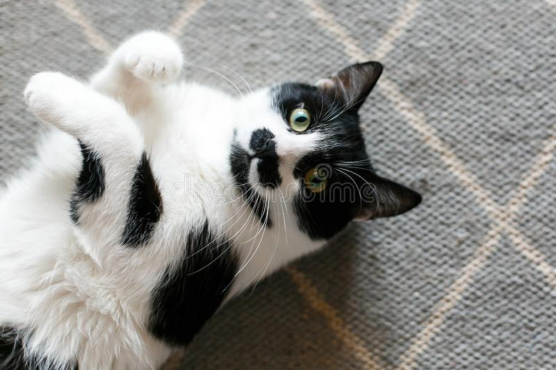 Cute cat lazy lying on stylish rug in the kitchen, top view. Sweet black and white kitty with mustache resting, with interesting royalty free stock image