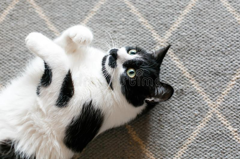 Cute cat lazy lying on stylish rug in the kitchen, top view. Sweet black and white kitty with mustache resting, with interesting stock photo
