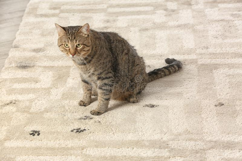 Cute cat leaving muddy paw prints. On carpet stock photography