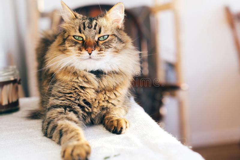 Cute cat looking angry with green eyes sitting on table. Maine coon with funny emotions relaxing indoors. Adorable furry friend, royalty free stock photography