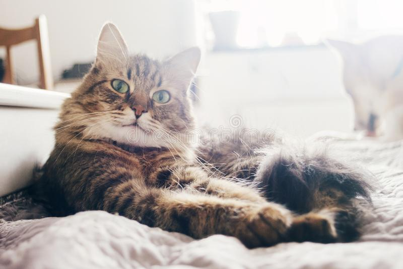 cute cat lying on comfortable bed in morning light in stylish room. maine coon resting on blanket with funny emotions and royalty free stock photos