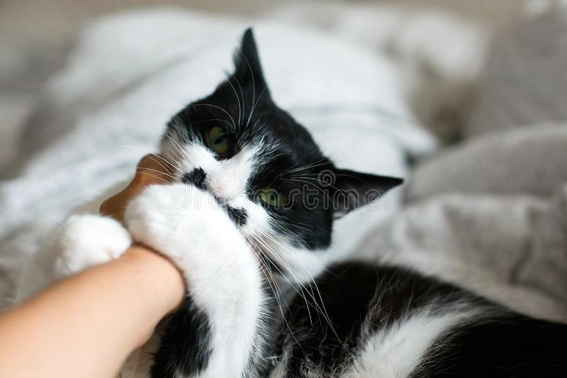 Cute cat with moustache biting owner hand on bed. Funny black and white kitty with angry emotions bites girl hand and scratches on. Stylish sheets. Space for stock photo