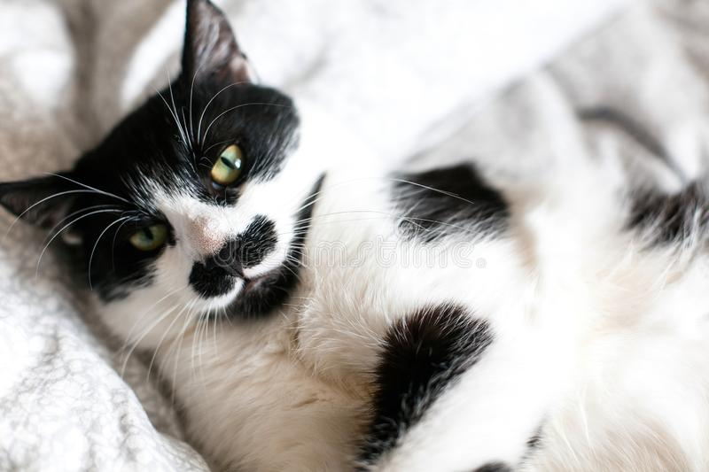Cute cat with mustache lying and relaxing on bed. Funny black and white kitty with angry emotions resting on stylish sheets. Space stock images