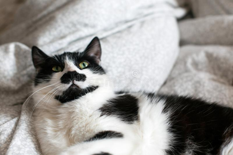 Cute cat with mustache lying and relaxing on bed. Funny black and white kitty with angry emotions resting on stylish sheets. Space stock photo