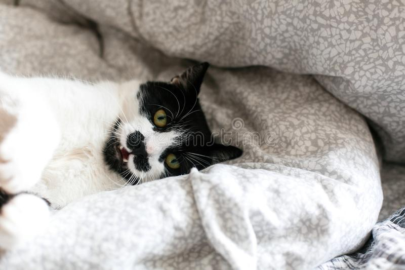 Cute cat with mustache lying and relaxing on bed, showing teeth. Funny black and white kitty with angry emotions resting on stock image