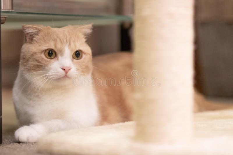 Cute cat. Orange and white Munchkin Cat,short legs Little cute cat royalty free stock image