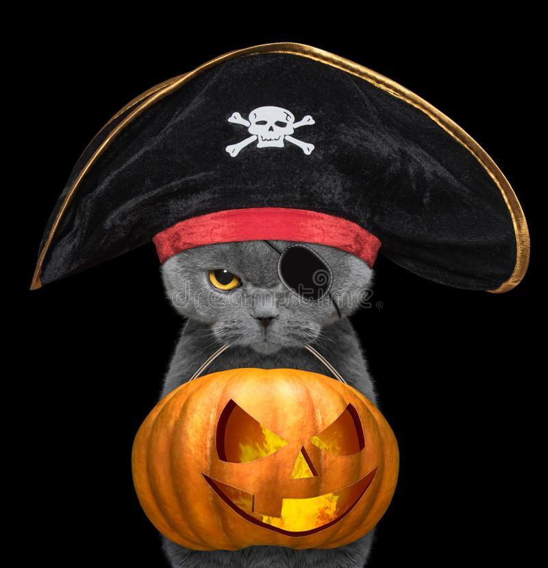 Cute cat in pirate hat hold halloween pumpkin in the mouth - isolated on black stock image