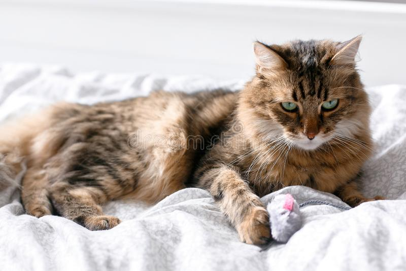 Cute cat playing with mouse toy on white bed in sunny stylish room. Maine coon with green eyes playing with with funny emotions on. Comfortable bed. Space for stock image