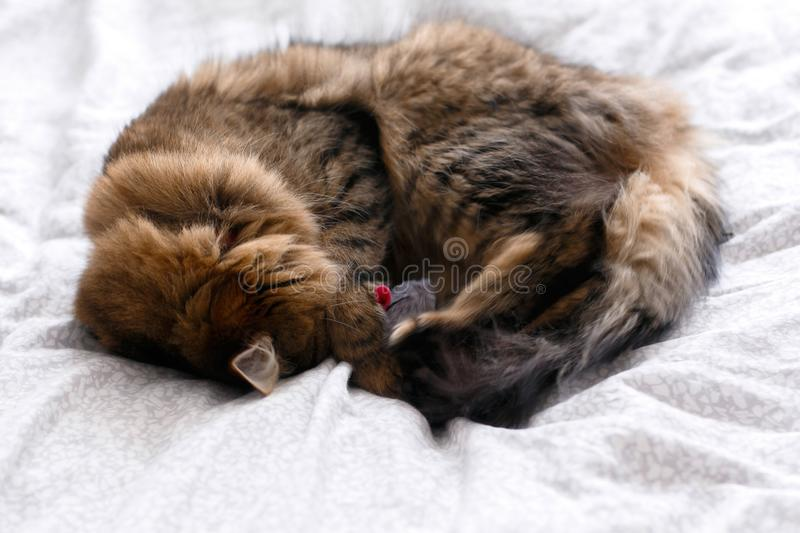Cute cat playing with mouse toy on white bed in sunny stylish room. Maine coon with green eyes playing with with funny emotions on. Comfortable bed. Space for stock images