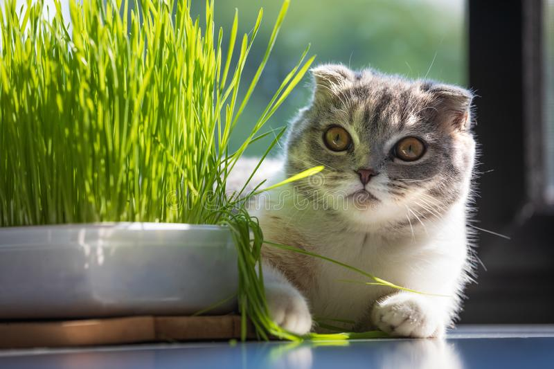 Cute cat and a pot with green organic grass during day , cats health concept . stock images